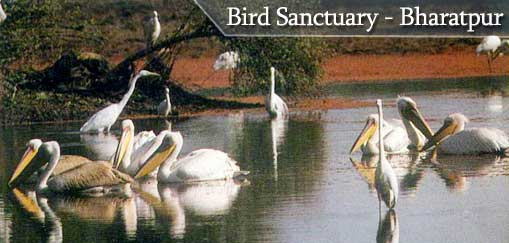 Pelicans in the Lake at Wildlife Bird Sanctuary - Bharatpur